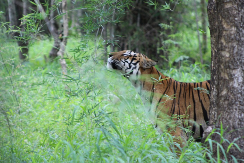 Photograph of the tiger feeling te nature