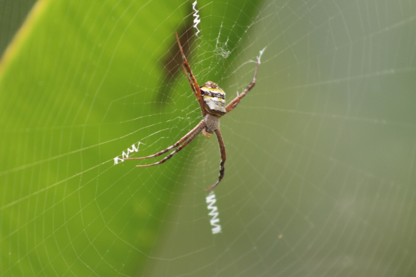 Photograph of the spider in the web