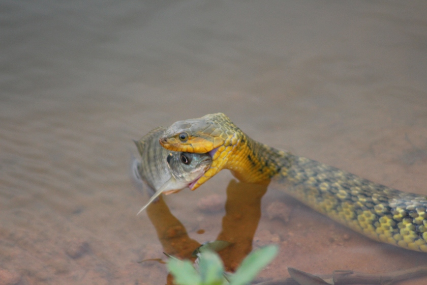 Photograph of snake eating the fish